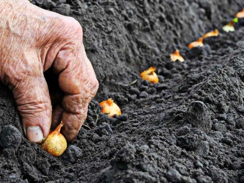 преимущества осенней посадки лука