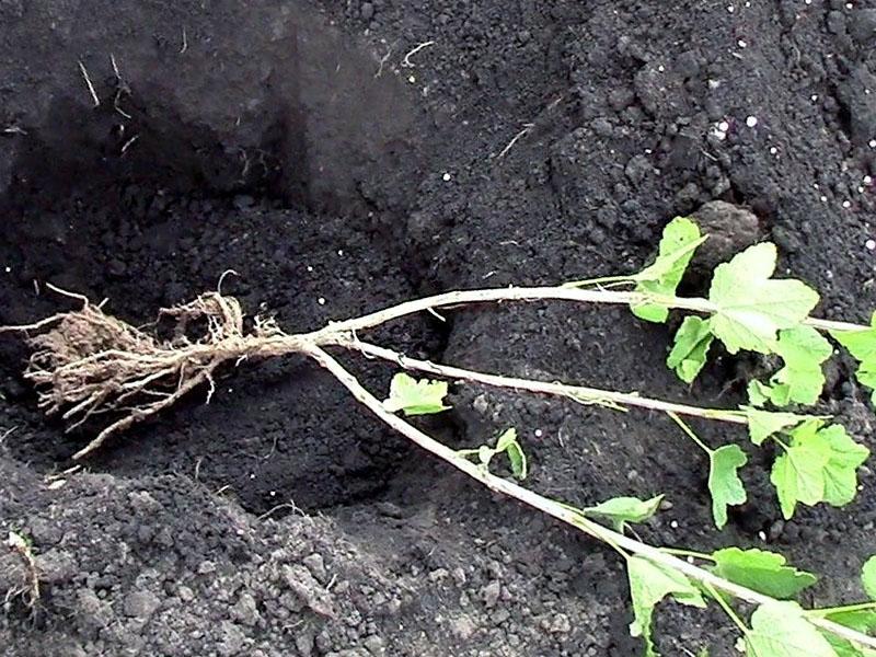 Вегетативный способ рассаживания черной смородины