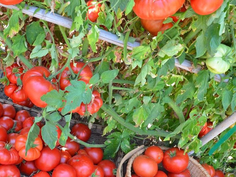 Возможный вред от томатов
