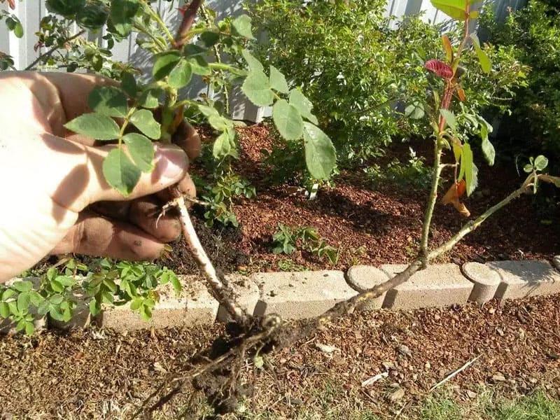 Как размножить розы черенками осенью