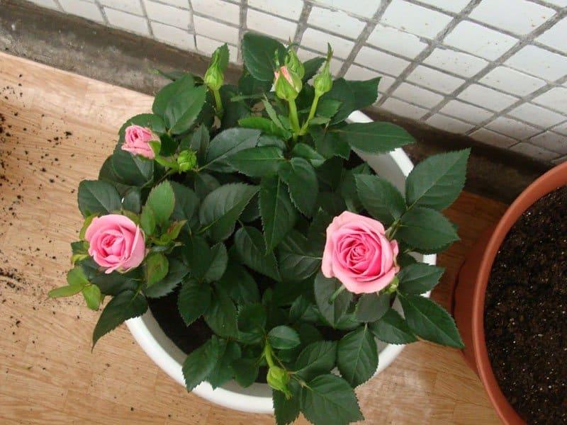 Как высадить розы на подоконнике