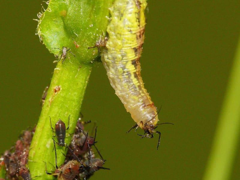 Личинока мухи-журчалки