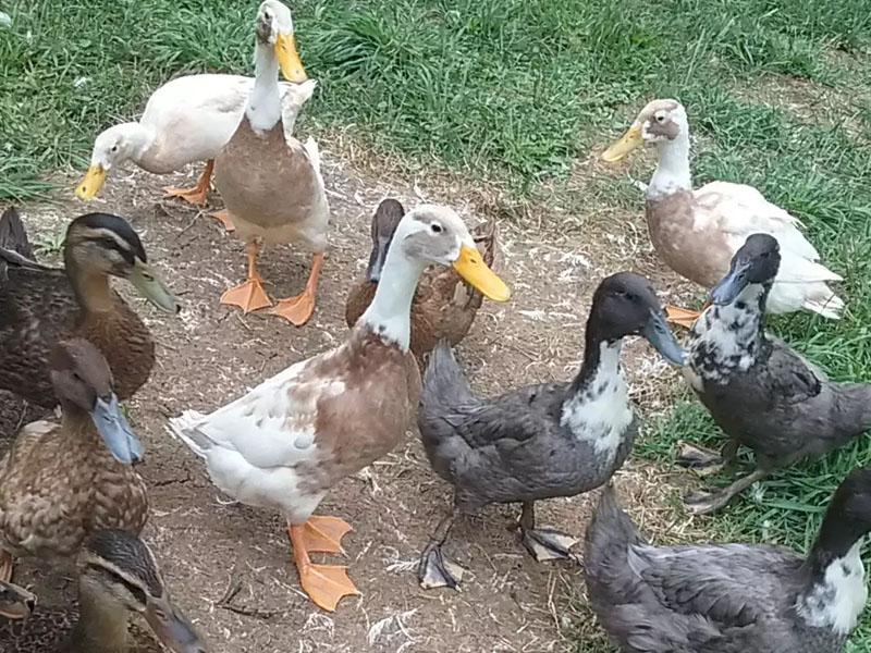 Условия разведения и содержания утки Голубой фаворит