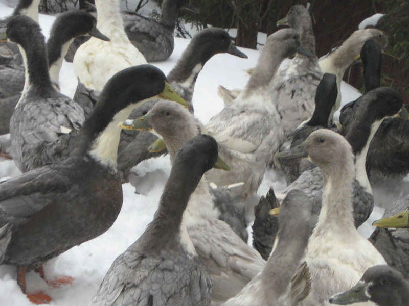 Характеристика утки породы Фаворит