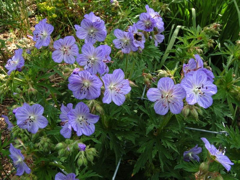 Герань садовая многолетняя и описание цветка