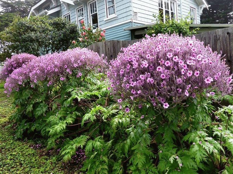 Герань садовая многолетняя и разновидности цветов