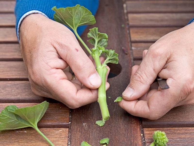 Герань садовая многолетняя и правила посадки растения