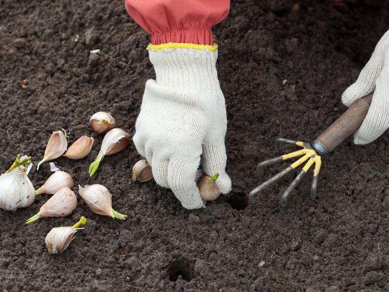 Глубина посадки чеснока под зиму и на что стоит обратить внимание