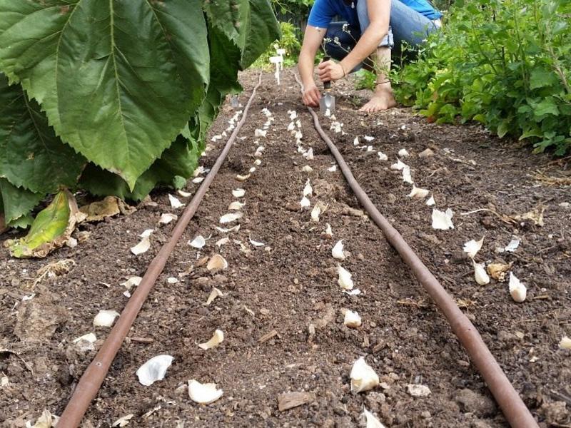 Глубина посадки чеснока под зиму и подготовка грядки
