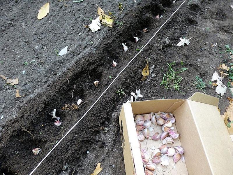 Глубина посадки чеснока под зиму и правила высаживания
