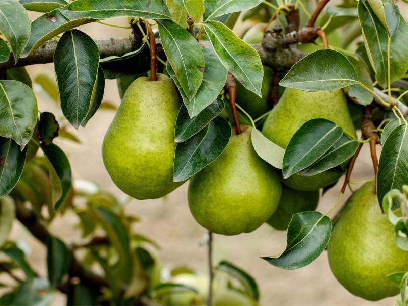 Груша Просто Мария: описание сорта: плодовитость и урожайность