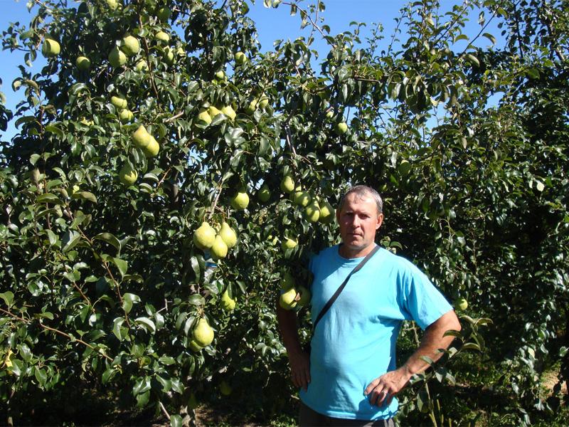 Груша Просто Мария: описание сорта и особенности ухода за фруктом