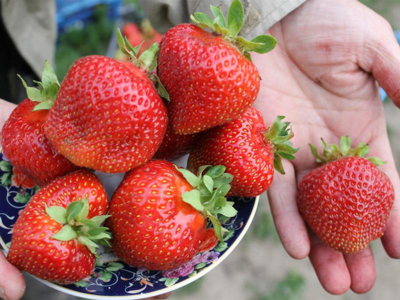 Клубника фестивальная: описание сорта вкусного урожая