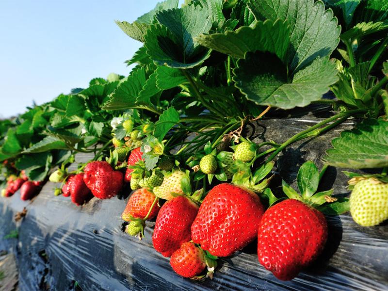 Клубника фестивальная: описание сорта и уход за ягодой