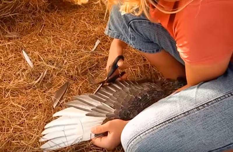 обрезка крыльев утки