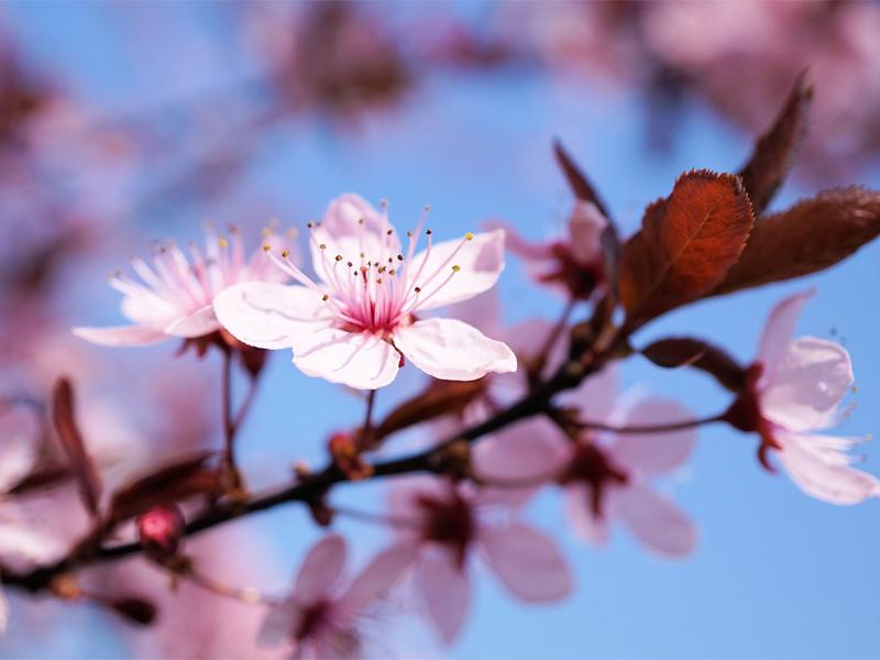 Обрезка вишни осенью для хорошего цвета весной