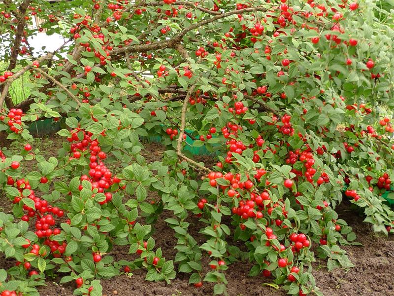 Обрезка вишни осенью, секреты обрезки войлочной вишни