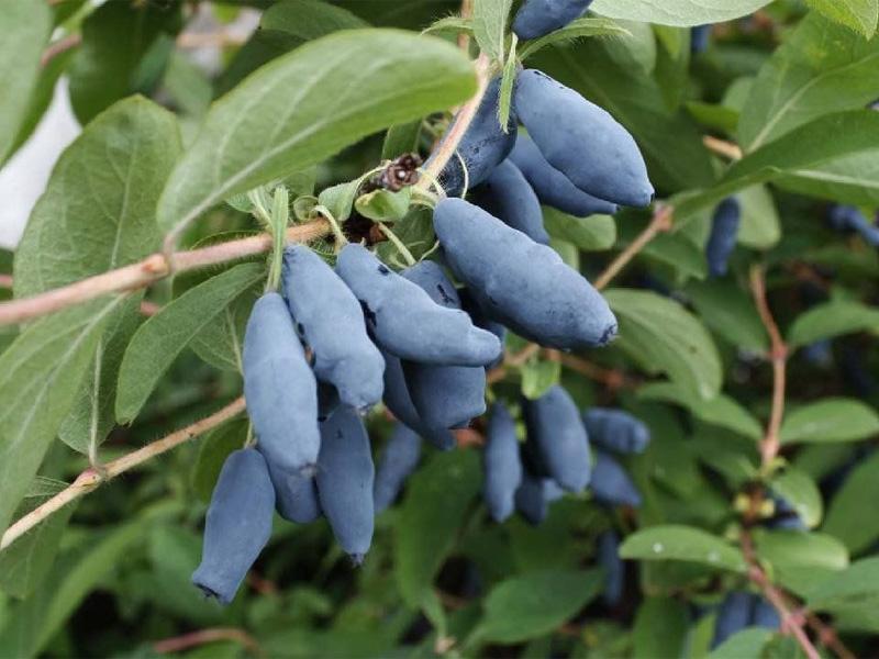 Как и когда осенью пересадить жимолость для хорошего урожая