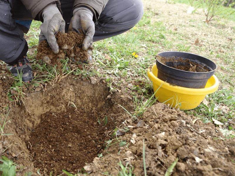 Как и когда осенью пересадить жимолость и удобрение почвы перед пересадкой