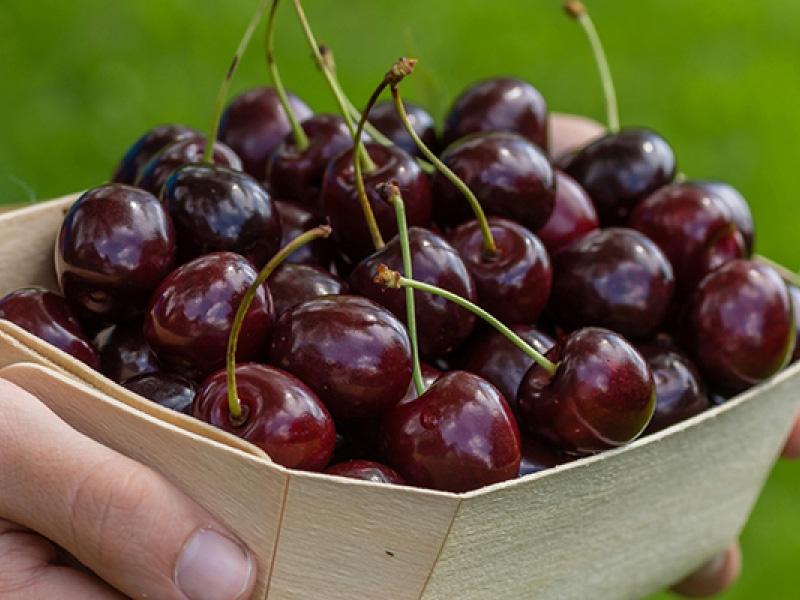 Популярные сорта вишни для средней полосы России и характеристики