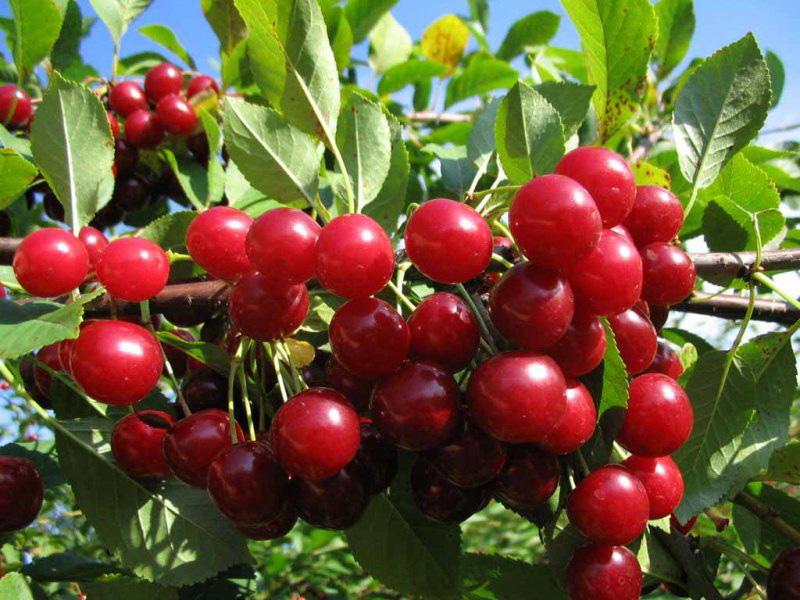 Популярные сорта вишни для средней полосы России и правила ухода