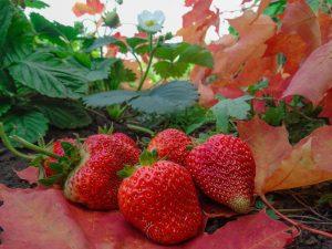 Посадка клубники осенью для хорошего урожая летом