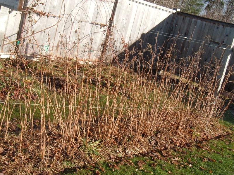 Посадка малины осенью саженцами