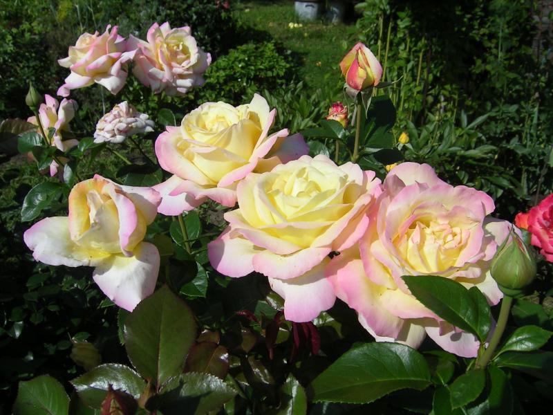 Роза чайно-гибридная: сорта и описание элитных цветов