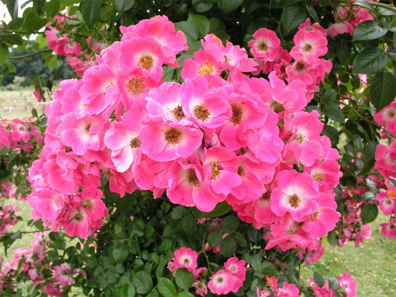 Роза чайно-гибридная: сорта и описание розы Американа