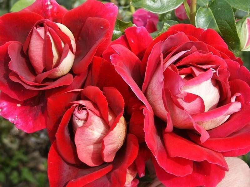 Роза чайно-гибридная: сорта и описание розы Кроненбург