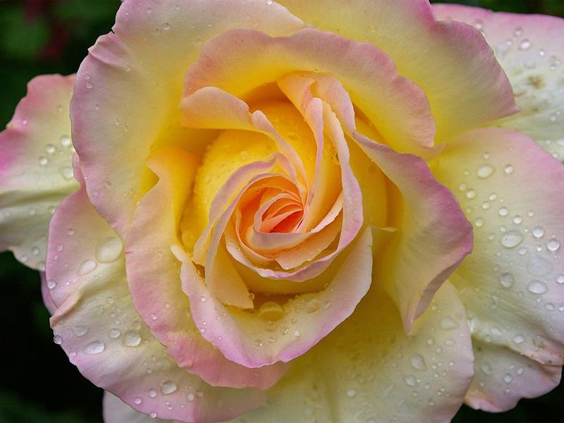 Роза чайно-гибридная: сорта и описание розы Глориа Деи