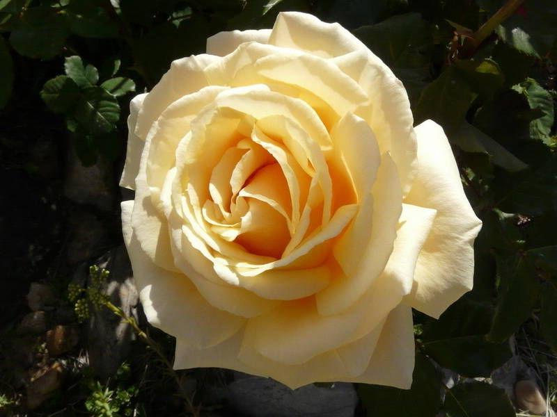 Роза чайно-гибридная: сорта и описание розы Даймонд Джубили