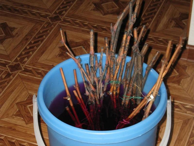 Виноград: заготовка и хранение черенков и замачивание перед хранением