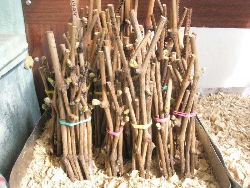 Виноград: заготовка и хранение черенков в домашних условиях