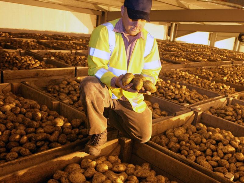 Выбор картофеля для хранения