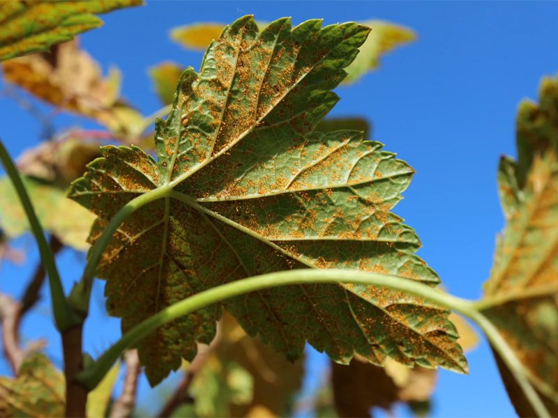 Болезни малины: Вирусные инфекции растения