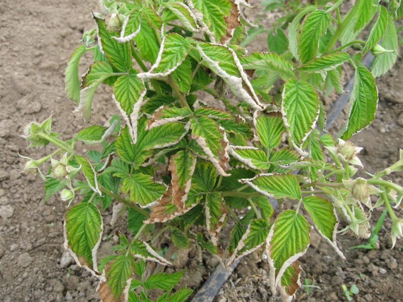 Болезни малины: Курчавость листьев и как справиться
