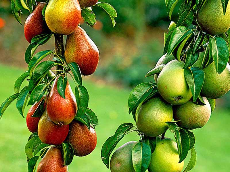 Груша виктория плоды
