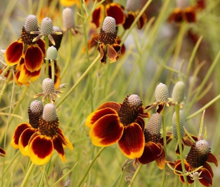 Ратибида: посадка, выращивание и правила ухода