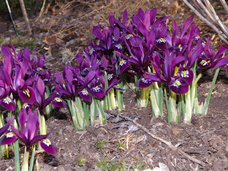Ирис сибирский: посадка и уход и выбор места для цветника