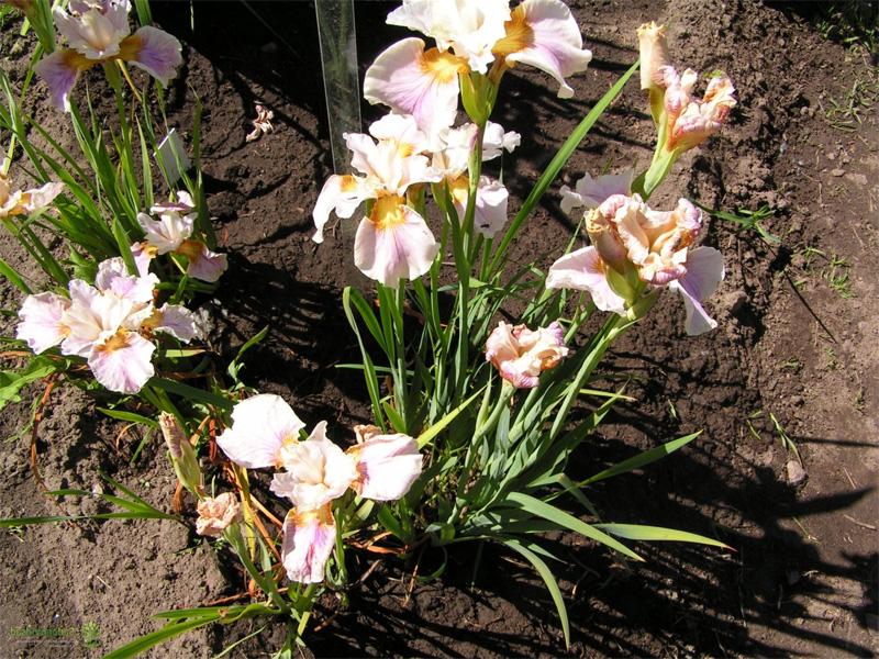 Ирис сибирский: посадка и уход и подготовка почвы