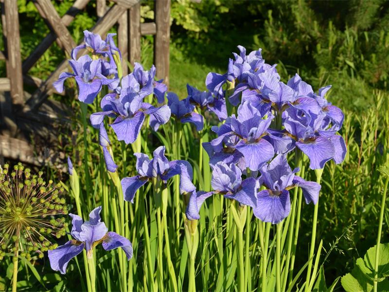 Ирис сибирский: посадка и уход и чем подкармливать цветы