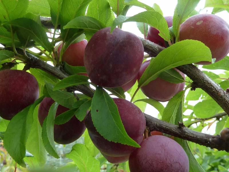 История выращивания сливы