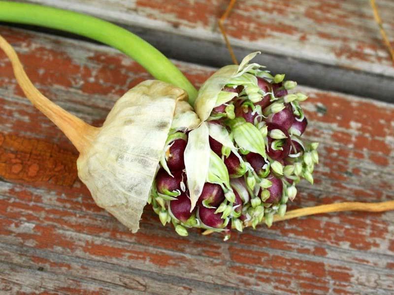 Как сохранить семена чеснока