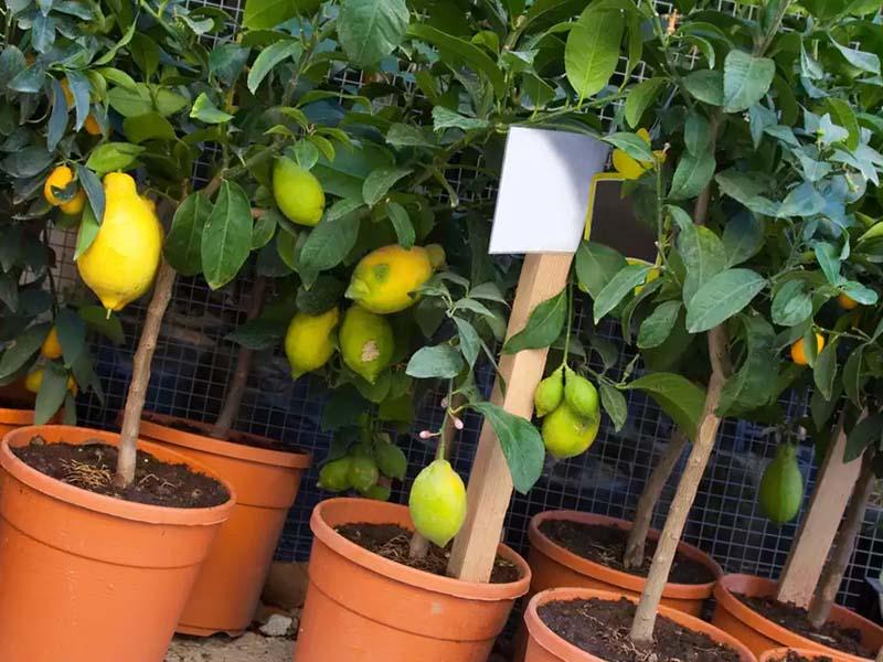 Какие условия нужно создать для лимона