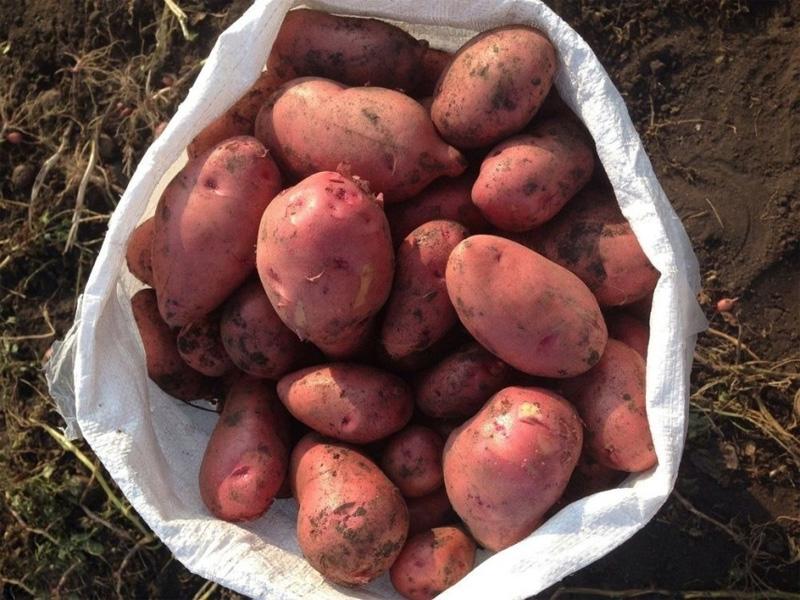Картофель Розара: описание сорта и история возникновения картофеля