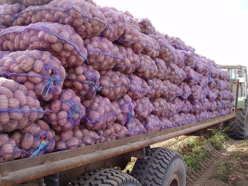 Картофель Розара: описание сорта и условия хранения картофеля