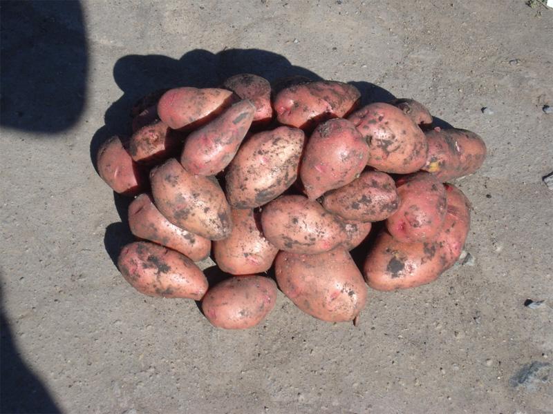Картофель Розара: описание сорта, подкормка и сбор урожая картофеля