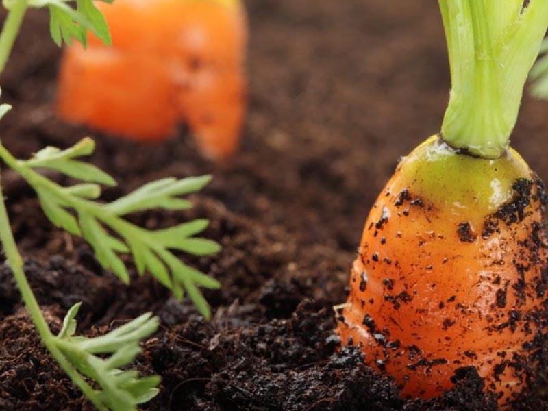 керосин для обработки моркови