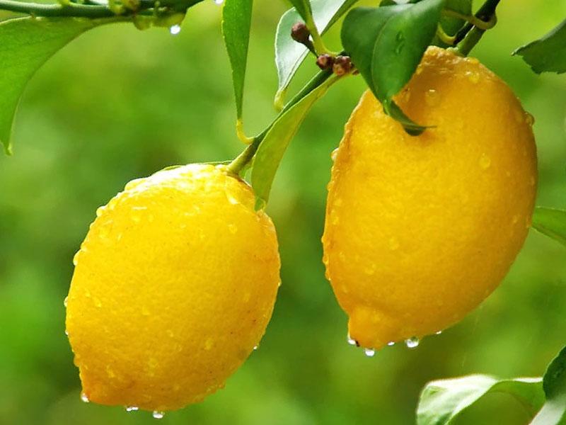 Лимон Доукс де медитеране